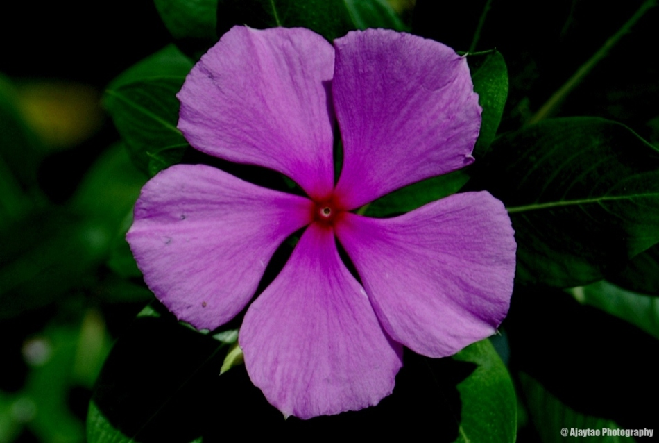 Catharanthus roseus - Periwinkle - Ajaytao