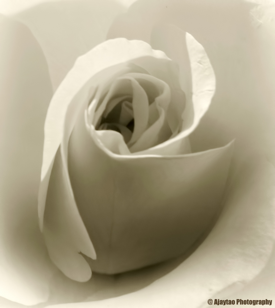 Rose - B & W - 1 - Ajaytao